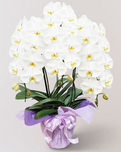 胡蝶蘭の供花