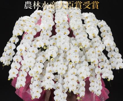 30本立ち胡蝶蘭
